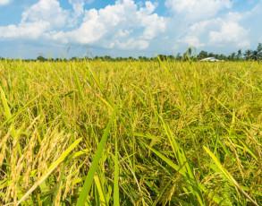 Typisches Reisfeld