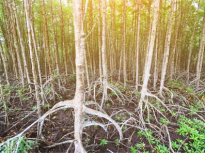 Mangrovenbäume in Can Gio