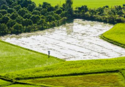 Reisfeld im Mekong Delta