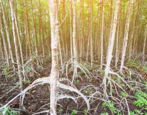 Can Gio Mangrovenbäume
