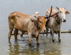 Ochsen auf einem Reisfeld in Chau Doc