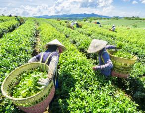 Teeernte im Hochland